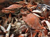 foto of cooked blue crab  - close up of cooked blue crabs from the Chesapeake Bay of Maryland in a pot outdoors - JPG