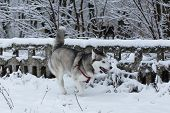 pic of husky sled dog breeds  - Siberian Husky winter - JPG