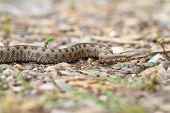 Juvenile European Sand Viper