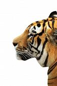 Tiger Head Isolated Over White