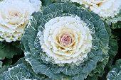 Cabbage White Flowers In Full Bloom.