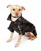 Chihuahua Mix Dog Wearing Black Leather Jacket