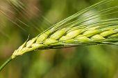 Head Of Grain