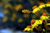 foto of anza  - Wild flowers at Anza Borego desert park, San Diego   ** Note: Shallow depth of field - JPG