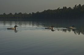 picture of loon  - Three loons swim in a row on a lake in Maine - JPG