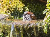 foto of bathing  - Male house sparrow bathing and soaking up the sun