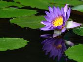 picture of ponds  - Water lily close up in the pond with green leaf - JPG