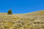 image of sagebrush  - A lone Douglas fir tree on a hill covered with sagebrush - JPG
