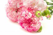foto of carnation  - vareigated carnation flowers isolated on white background - JPG