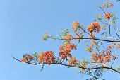 picture of royal botanic gardens  - Royal Poinciana flora on blue sky background - JPG