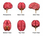 pic of temporal lobe  - The human brain has many properties that are common to all vertebrate brains - JPG