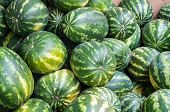 pic of plant species  - Watermelon is an annual herbaceous plant a species of Citrullus family Cucurbitaceae - JPG
