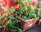 picture of tomato plant  - red tomatoes and green plant in the terrace of house - JPG