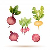 picture of turnips  - Set of watercolor vegetablesbeets radishes turnips - JPG