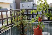 stock photo of tomato plant  - Tomato plant in the pot on the terrace of a house in the city - JPG