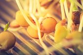 picture of germination  - Vintage photo of germination of small plants - JPG