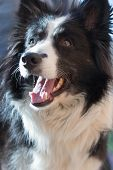 pic of sheep-dog  - Portrait of Border collie which is ready for grooming - JPG