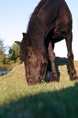 stock photo of eat grass  - Closeup of black horse eating grass on pasture - JPG