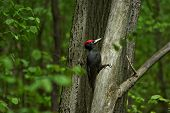 stock photo of pecker  - Black woodpecker on a tree in the spring forest - JPG