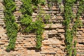 image of ivy vine  - Brick wall covered with beautiful green ivy - JPG