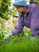 stock photo of weed  - Woman weeding in the garden and she use protective gloves - JPG