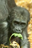 picture of gorilla  - photo of a baby gorilla with some food - JPG