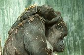 picture of gorilla  - photo of a mother gorilla with baby asleep on her back - JPG