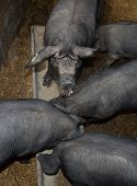 pic of trough  - Black pigs still eating in their troughs - JPG