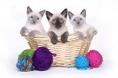 stock photo of siamese  - Siamese Kittens on White Background With Basket of Yarn - JPG