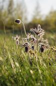 stock photo of hairy  - Fresh hairy pasqueflowers on spring sunny meadow - JPG