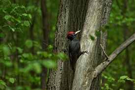 stock photo of woodpecker  - Black woodpecker on a tree in the spring forest - JPG