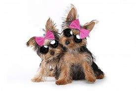 stock photo of girlie  - Cute Yorkshire Puppies Dressed up in Pink - JPG