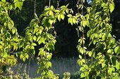 Climbing Plants With Leaves In Sunlight