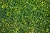 Beautiful Green Grass Background Texture in the Afternoon Sun.