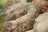 foto of western diamondback rattlesnake  - Western Diamondback Rattlesnake Resting in the Warm Sun - JPG