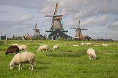 Goats at a farm in Zaanse Schans near Amsterdam in the Netherlands