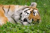 Tired Tiger 6
