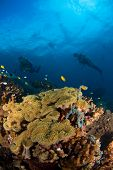 Diver And Coral Indonesia Sulawesi