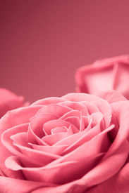 picture of rose flower  - beautiful pink roses close - JPG