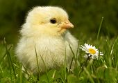stock photo of farm animals  - few days old chicken incubation below artificial clucking  - JPG