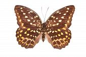 Brown And Yellow Butterfly Lexias Pardalis Elora Isolated On White Background