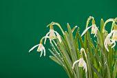 image of snowbell  - Snowdrop flowers - JPG