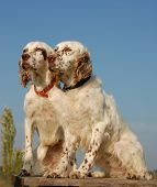 stock photo of english setter  - beautiful couple of purebred english setters - JPG