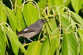 Long-tailed sibia gray bird feeding on long pepper at Frasers Hill, Malaysia, South east Asia (Hete poster