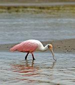 Roseate Spoonbill Bird wading at shoreline feeding