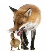 Red Fox, Vulpes vulpes, 4 years old, playing with a domestic duckling in front of white background poster