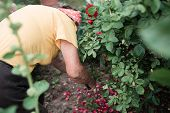 Gardening Concept - Gardener From Behind In Sunny Garden Planting Red Roses. Senior Woman 80 Years O poster