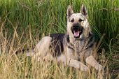 stock photo of alsatian  - Alsatian dog at field - JPG