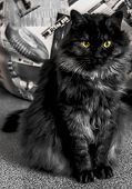 Black Cat Of Siberian Breed, Ashen Color With White Undercoat. Cute Fluffy Kitten. Proud, Important  poster