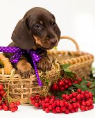 Dachshunds dog and rowan berry poster